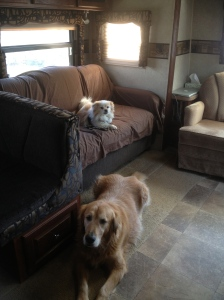 The well traveled dogs, looking forward to having their yard back