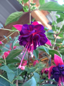 Our first ever Fuchsia
